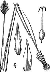 Carex crawfordii illustration (1).jpg
