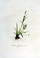 Carex flava — Flora Batava — Volume v6.jpg