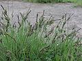 Carex nigra ssp. nigra Oulu, Finland 14.06.2013 img 1.jpg