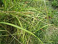 Carex otrubae leaf (03).jpg