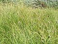 Carex pansa.jpg