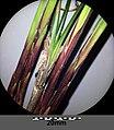 Carex pilosa sl23.jpg