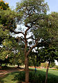 Caribbean Trumpet Tree (Tabebuia aurea) tree in Hyderabad, AP W IMG 6554.jpg