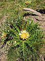 Carlina acanthifolia.jpg