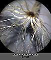 Carlina acaulis subsp. acaulis sl4.jpg