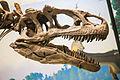 Carnegie Allosaurus skull.jpg