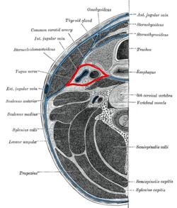 Carotid sheath - Wikipedia