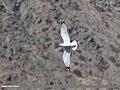 Caspian Gull (Larus cachinnans) (31842303825).jpg
