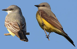 Cassin's kingbird - Comparison of a Cassin's (on the left) and western kingbird