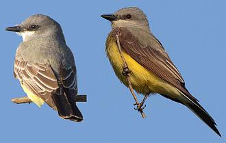 Cassin's kingbird - Comparison of a Cassin's (on the left) and western kingbird
