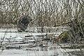 Castor fiber11(js), Narew River (Poland).jpg