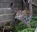 Cat Survival Trust Panthera pardus orientalis.jpg