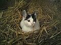 Cat in the hay.jpg