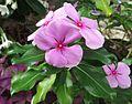 Catharanthus roseus 01.jpg