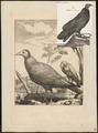 Catharista aura - 1700-1880 - Print - Iconographia Zoologica - Special Collections University of Amsterdam - UBA01 IZ18100127.tif