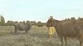Cattle are Tethered 4815192589 o.jpg