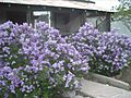 Ceanothus in front of an abandoned house, Socorro, New Mexico.jpg