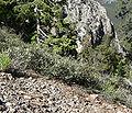 Ceanothus martinii 3.jpg
