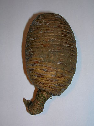 Resin - Cedar of Lebanon cone showing flecks of resin as used in the mummification of Egyptian Pharaohs.