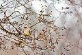Cedar waxwing (25941338225).jpg