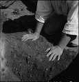 Centerville, California. Hands of woman farm- worker preparing soil for transplanting tomato plants . . . - NARA - 537591.tif