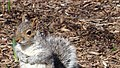 Central Park - Content Squirrel 4 (New York) (30301421807).jpg