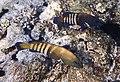 Cephalopholis argus - Павлинья гаруппа..DSCF5890ОВ.jpg