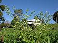 Cerastium glomeratum plant3 (12094793205).jpg