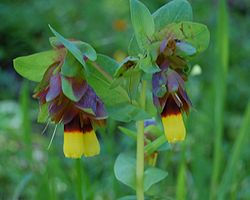 Cerinthe major 0006.JPG