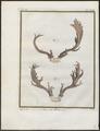 Cervus dama - gewei - 1700-1880 - Print - Iconographia Zoologica - Special Collections University of Amsterdam - UBA01 IZ21500164.tif