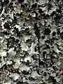 Cetrelia chicitae - Flickr - pellaea.jpg