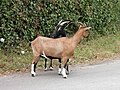 Chèvres (Capra aegagrus hircus) (06).jpg