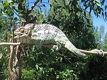 Madagascar-Fauna-Chameleon in Berenty Madagascar 0001