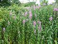 ChamerionAngustifoliumIrelanda.JPG