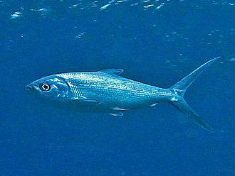 Milkfish - Chanos chanos from French Polynesia