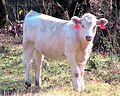 Charolais calf cow.jpg