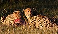 Cheetah, Acinonyx jubatus, at Pilanesberg National Park, Northwest Province, South Africa. (27308987660).jpg