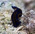Chelidonura hirundinina (27699212232).jpg