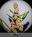 Chenopodium rubrum (s. str.) sl59.jpg