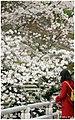 Cherry Blossoms (29888319).jpeg