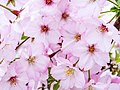Cherry Blossoms - Macro 2 (40791970515).jpg