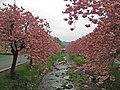 Cherry Trees, Dollar - geograph.org.uk - 411350.jpg