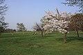 Cherry blossom (yurigahara park) - 百合が原公園の桜 - panoramio.jpg