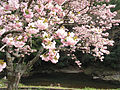 Cherry blossoms of the Yokowa-Sakura02.jpg