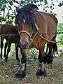Chevaux de trait, exposition à Mirabel en Ardèche 09.jpg