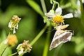 Chiasmia eleonora (44568731791).jpg