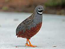 Chinese Painted Quail RWD12b.jpg