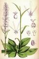 Chionographis japonica CBM.png