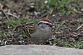 Chipping Sparrow South Llano River State Park Llano TX 2018-02-24 16-23-35-2 (39688546225).jpg