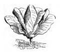 Chou d'York petit hâtif Vilmorin-Andrieux 1883.png